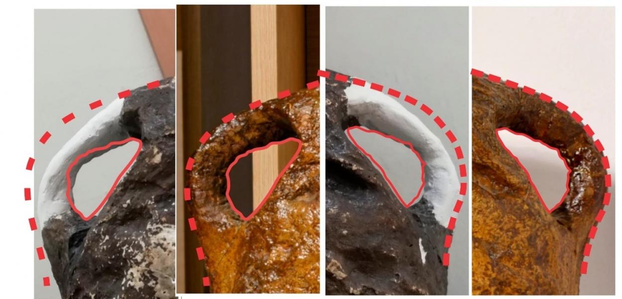 Процесс реставрации носовых костей гипсового слепка иностранцевии (темного цвета) с сопоставлением формы носовых костей оригинальной окаменелости