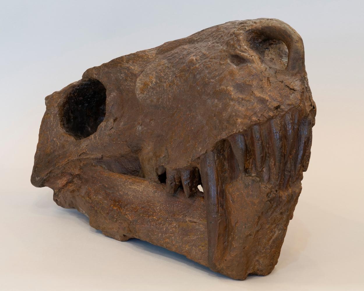 Гипсовый слепок черепа иностранцевии после реставрации