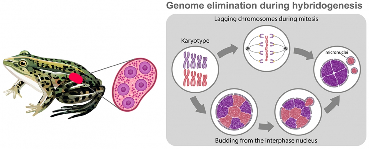 Механизмы элиминации одного из родительских геномов при гибридогенезе на примере зеленых лягушек комплекса Pelophylax esculentus