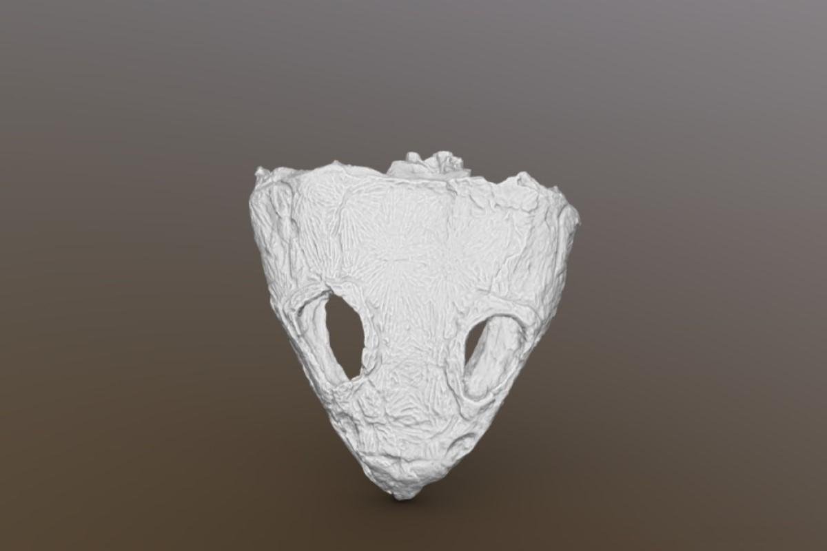 3D-модель черепа двинозавра (Dvinosaurus primus)