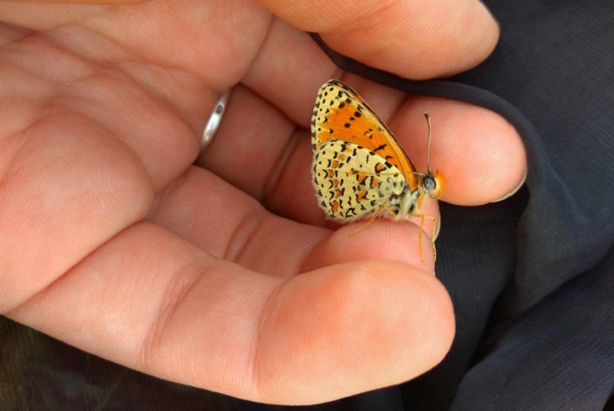 Бабочка Melitaea acentria, обитающая на склонах горнолыжного курорта Хермон в северном Израиле. От Melitaea didyma её отличают характерные оранжевые пятна на крыле, которые имеют вид лунок и окаймлены черным цветом. Автор фото – Елена Паженкова