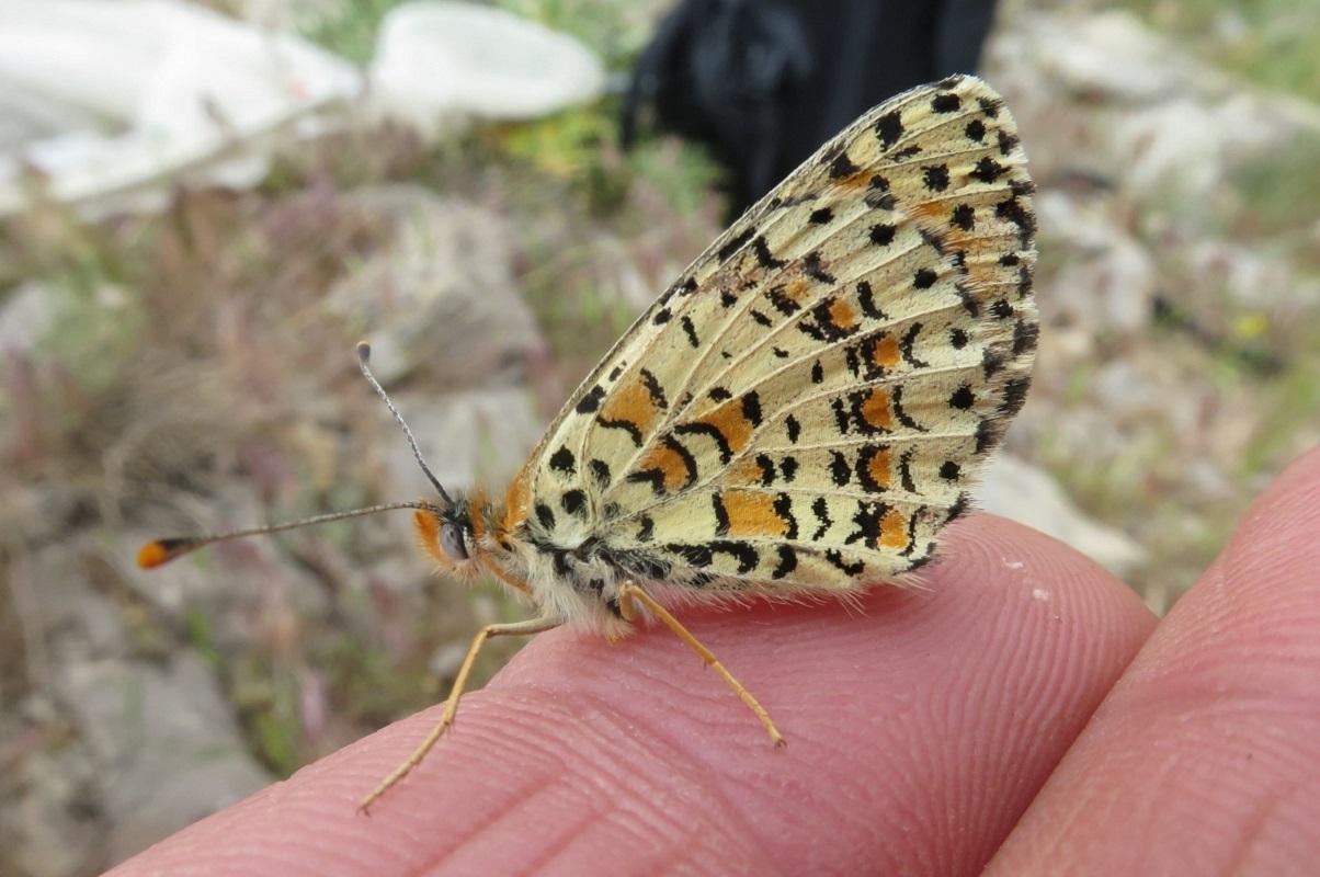 Бабочка Melitaea acentria, обитающая на склонах горнолыжного курорта Хермон в северном Израиле. Автор фото – Владимир Лухтанов