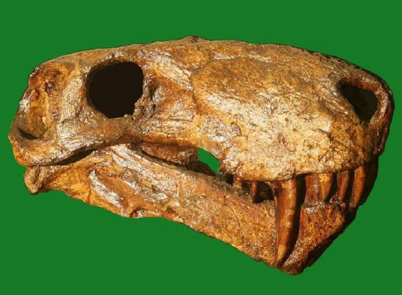 Череп иностранцевии, гипсовая реплика с оригинала, найденного Амалицким, из Палеонтологической коллекции СПбГУ