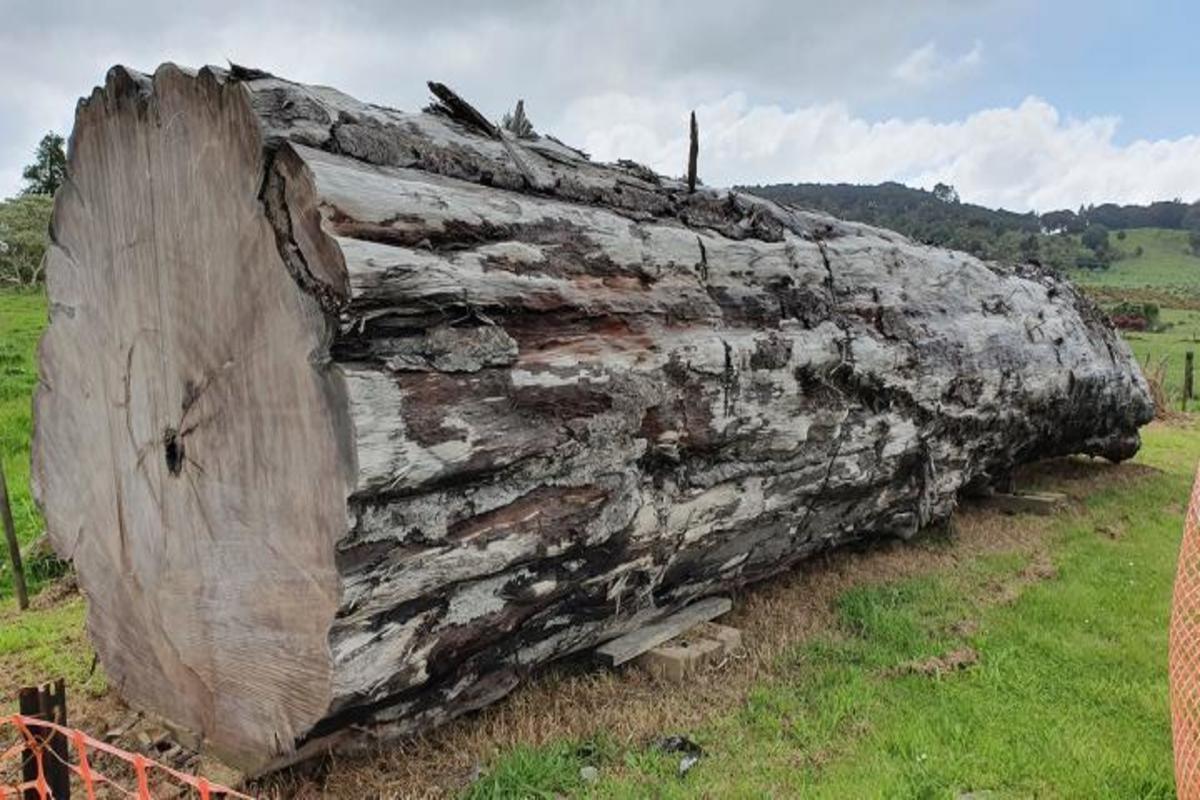 Фото: Древнее дерево каури из Нортленда, Новая Зеландия. Университет Нового Южного Уэльса, Австралия