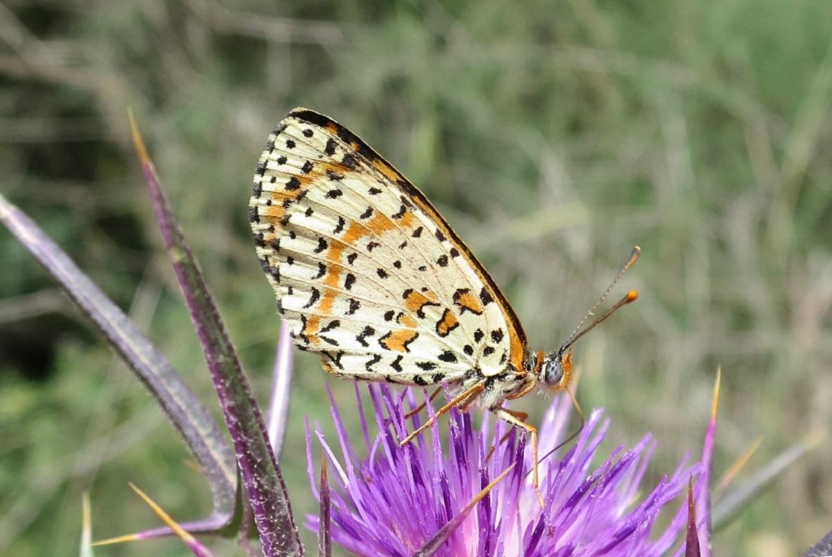 Бабочка Melitaea didyma, обитающая в северном Израиле. От Melitaea acentria её отличают характерные пятна на крыле, которые имеют вид прямоугольников и не окаймлены черным цветом. Автор фото – Владимир Лухтанов