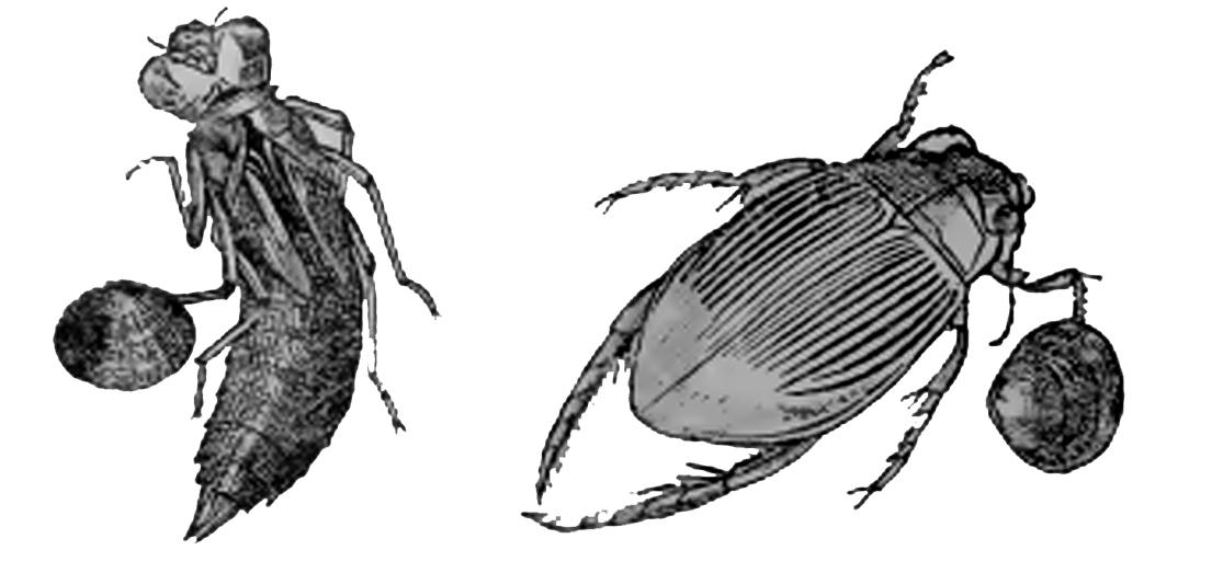 Пресноводные двустворчатые моллюски из рода Sphaerium умеют прикрепляться к ножкам водяных насекомых.