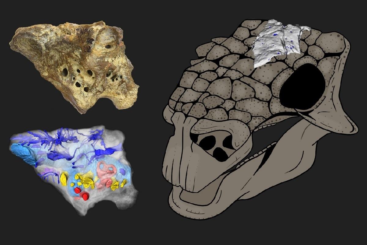 Реконструкция черепа анкилозавра Bissektipelta archibaldi и примерное положение изученного образца ZIN PH 1/16. Изображение предоставлено авторами исследования.