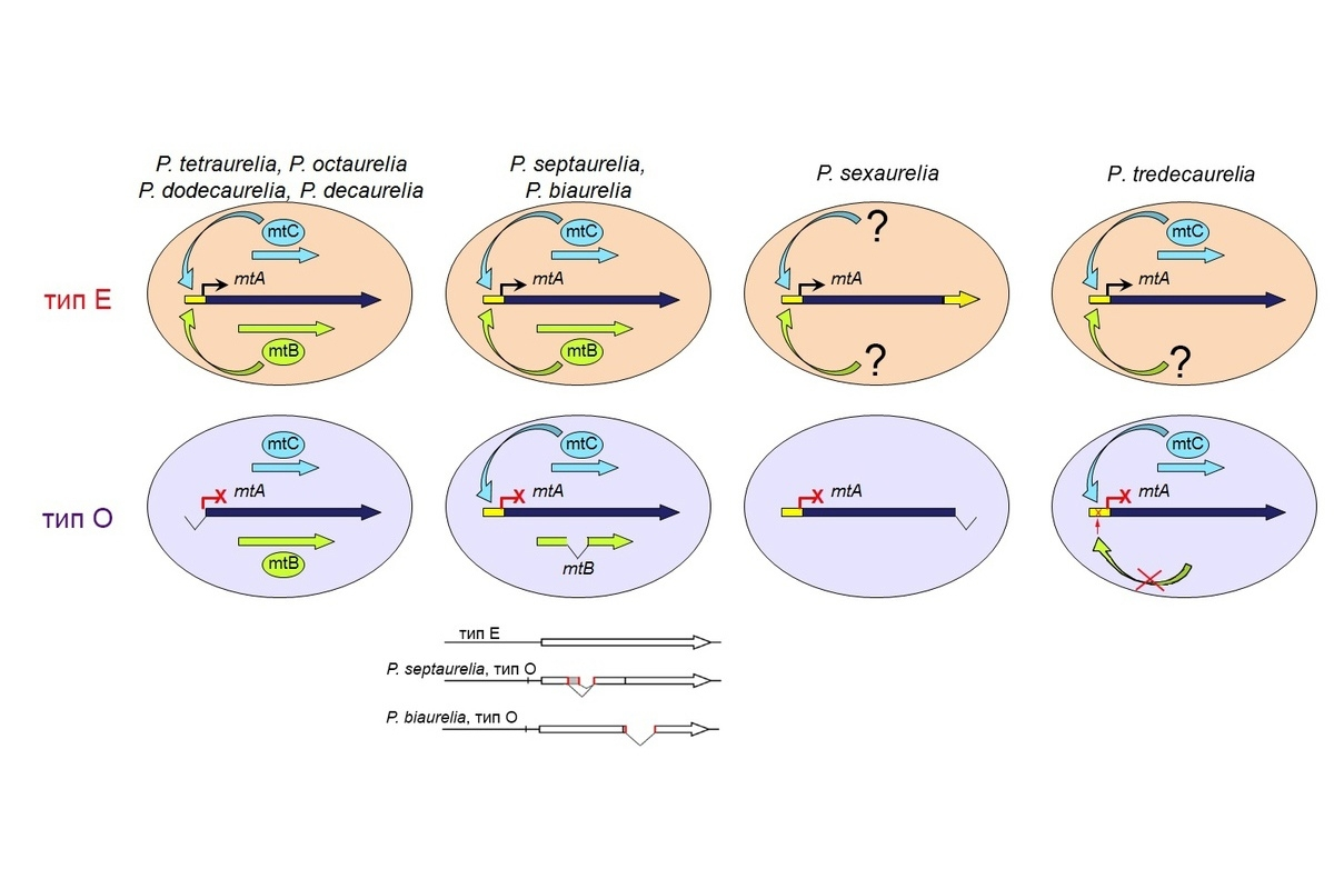 Механизмы возникновения типов спаривания Е и О у разных видов Paramecium aurelia. Ген mtA отвечает за экспрессию типа спаривания Е, его транскрипцию обеспечивают факторы mtB, mtC или неизвестные белки с той же функцией.