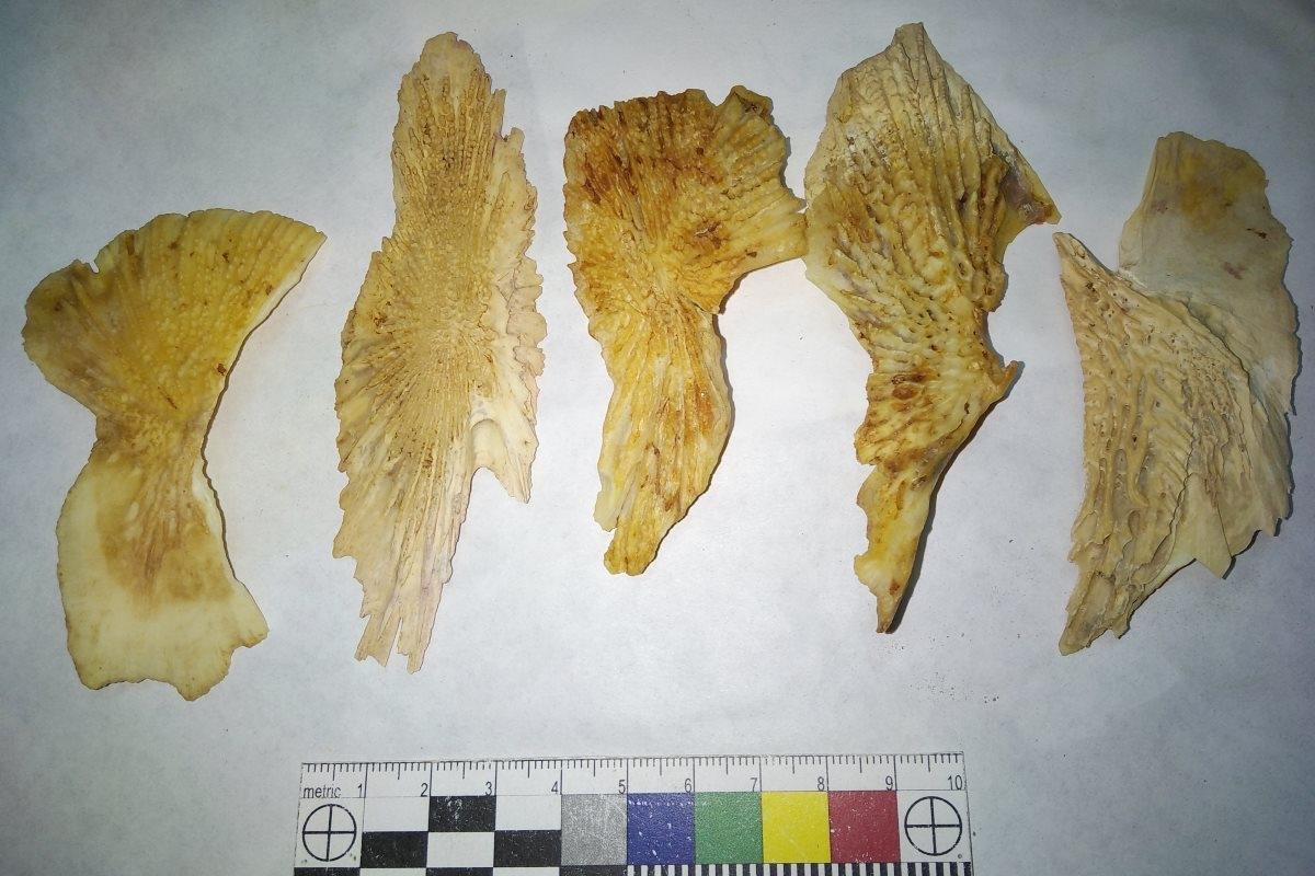 Кости рыб семейства осетровых. Автор фото Игорь Тарасов