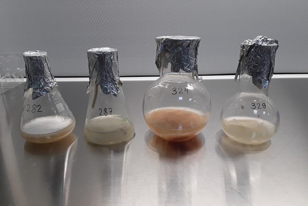 Культуры разных штаммов гриба Fusarium oxisporum f.sp. lini в колбах