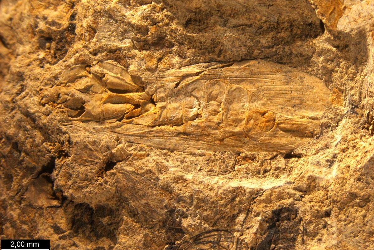 Ископаемый ручейник из миоцена Ставрополья