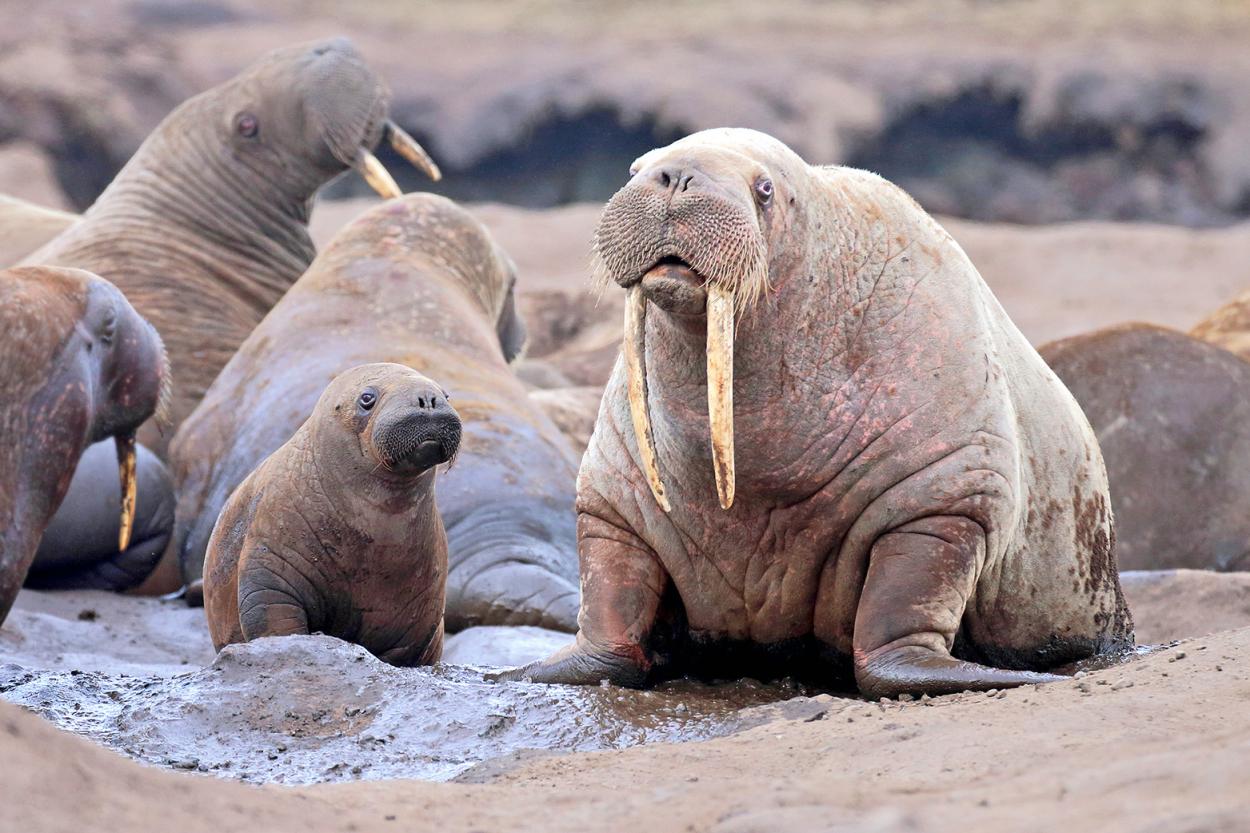 Тихоокеанские моржи на острове Колючин в Чукотском море. Фото Андрея Гилева