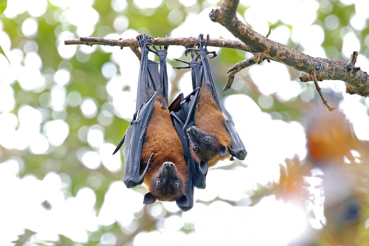Индийские летучие лисицы. Фото Андрея Гилева