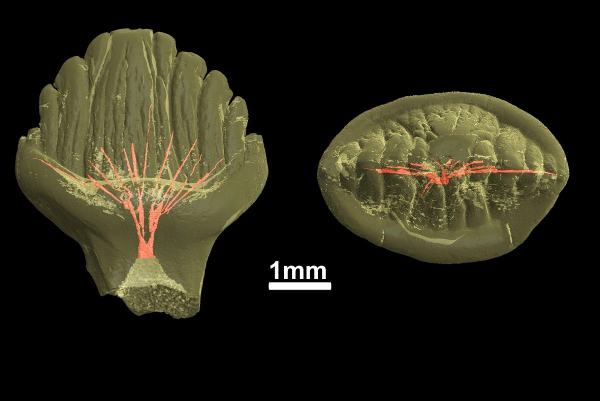 Реконструкция полости пульпы внутри зуба стегозавра / Pavel Skutschas et al. / PLoS One, 2021