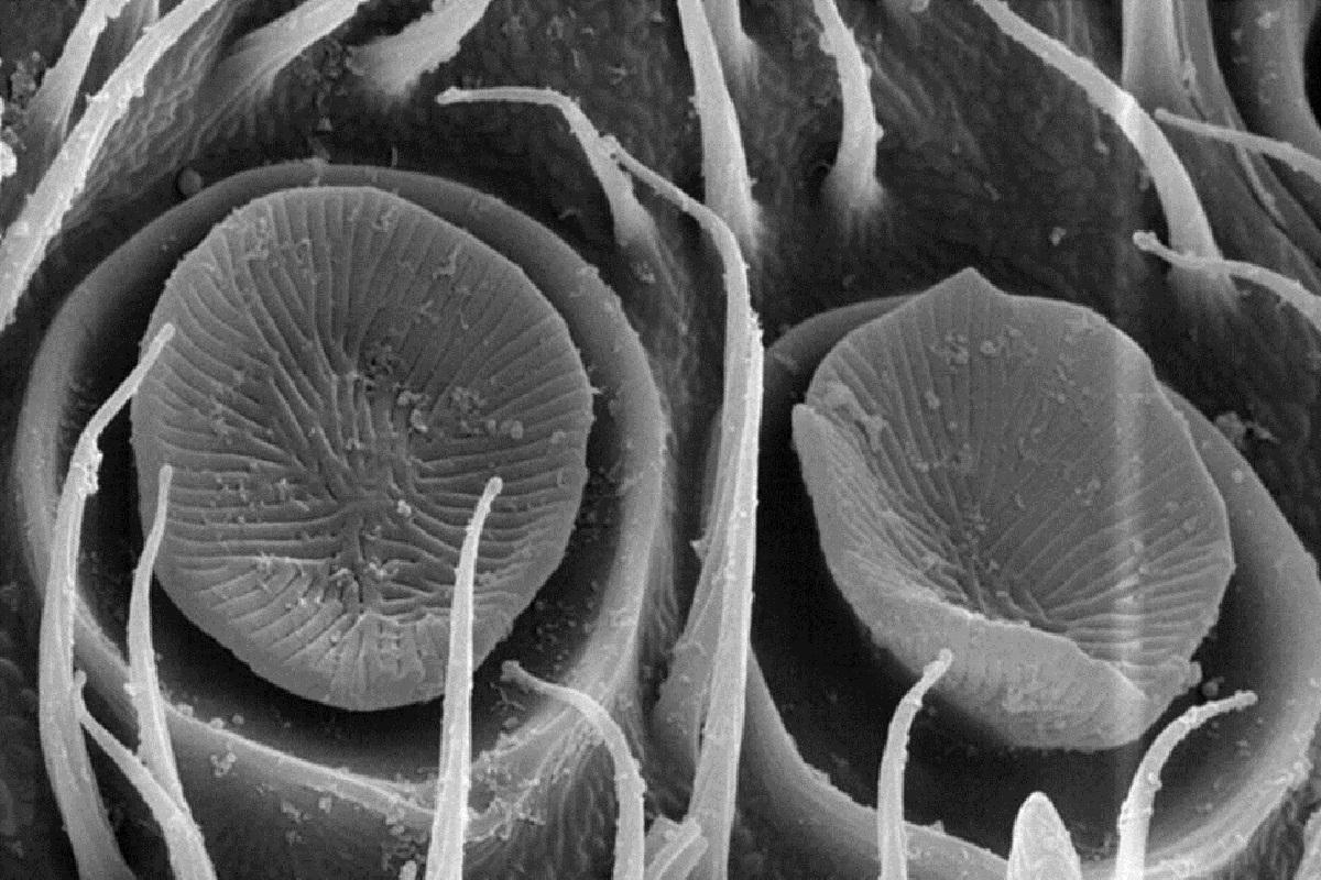 Псевдоплакоидные сенсиллы под сканирующим электронным микроскопом напоминают грибы