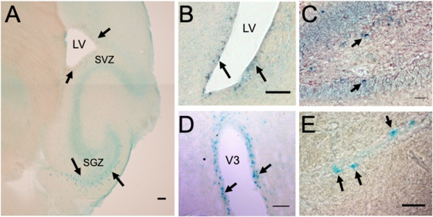 Рецептор следовых аминов TAAR5 обнаружен вобластях мозга, где образуются новые нейроны вовзрослом состоянии