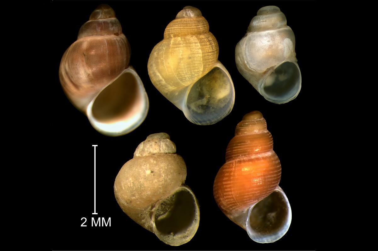 Все представители рода Boreocingula. Первый ряд: Boreocingula martyni, Boreocingula alaskana, Boreocingula sirenkoi. Второй ряд: Boreocingula globulus, Boreocingula castanea