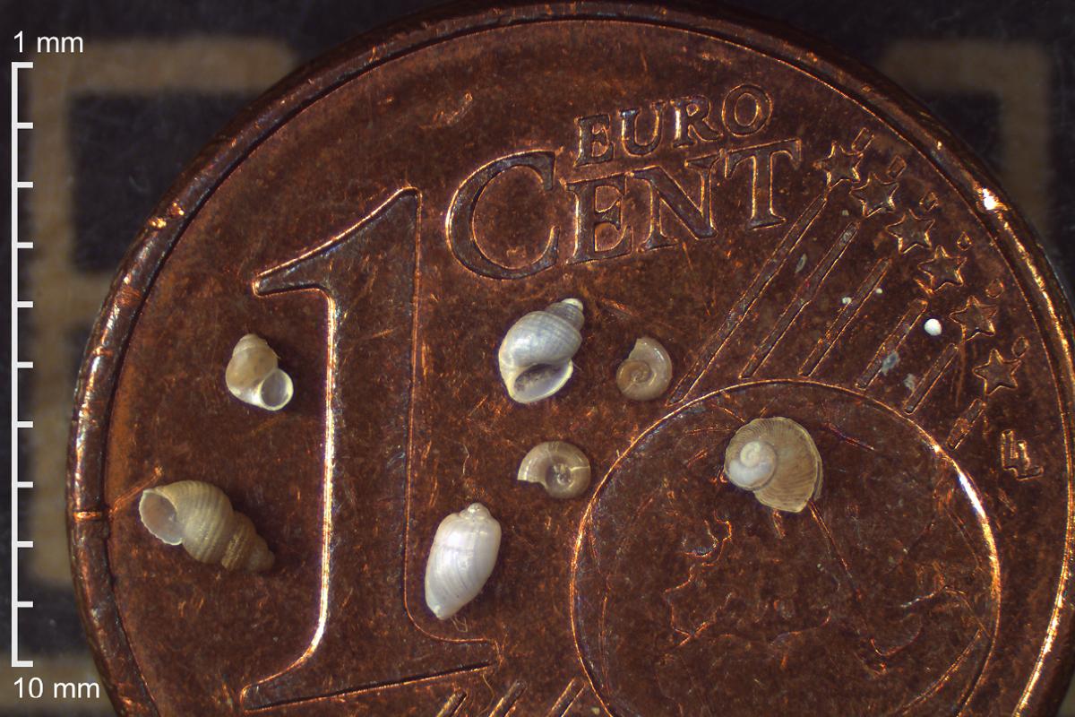 Представители шести различных видов морских микромоллюсков Арктики по сравнению с монетой. Фото: Иван Нехаев