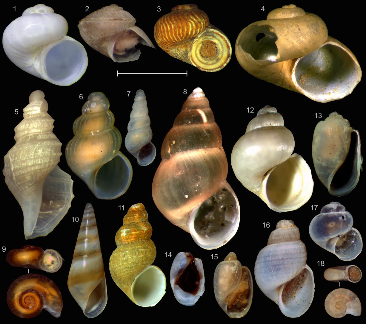 Представители различных семейств микромоллюсков Арктики. Фото: Иван Нехаев и Екатерина Кроль
