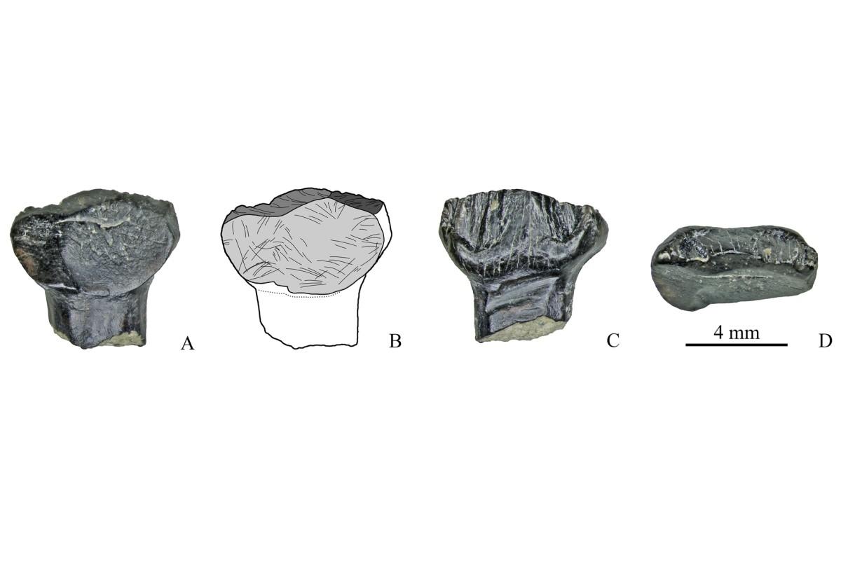 Зубы стегозавров, найденные на местонахождении у ручья Тээтэ (Республика Саха), в разных плоскостях / Pavel Skutschas et al. / PLoS One, 2021